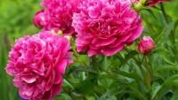 Şakayık Çiçeği Yetiştiriciliği Çok Kazandırıyor